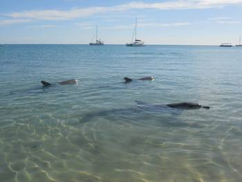 Dolphins at Monkey Mia Dolphin Resort.