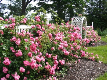 Rose garden at The Heathman Lodge.