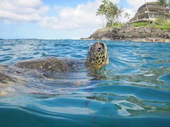 Sea turtle at Great Vacation Retreats.