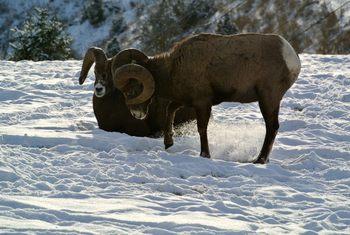 Wildlife at Bighorn Meadows Resort.
