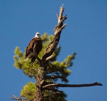 Bald eagle at Rainy Lake Houseboats.
