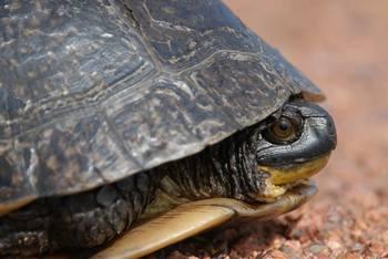 Blandings turtle at Holiday Inn Minneapolis.