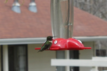 Hummingbird at Parkwood Lodge.