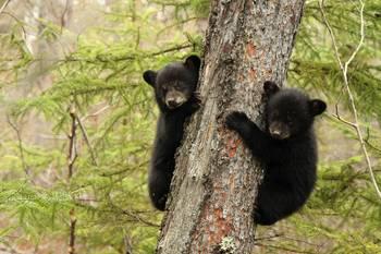 Black bear at Lodge of Whispering Pines.