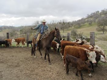 Rounding up cattle at Rankin Ranch.