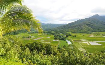 Rice fields near Kauai Calls!