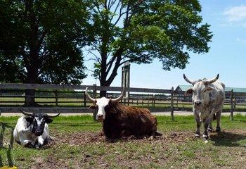 The bulls at Double JJ Resort.