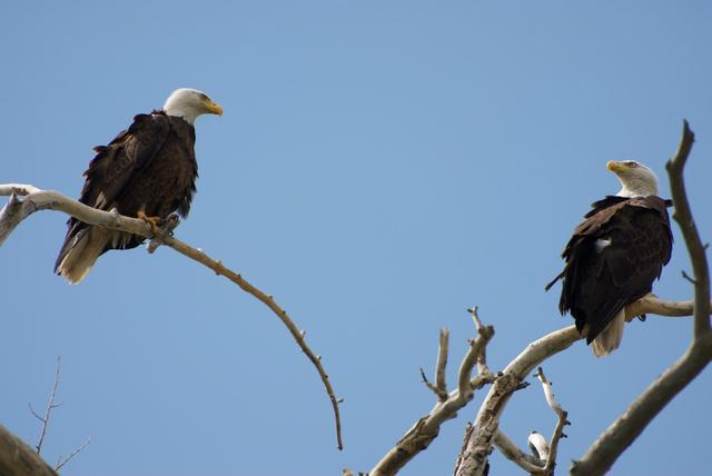 Eagles at Vee-Bar Guest Ranch.