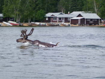 Moose swimming at Sandy Beach Lodge.