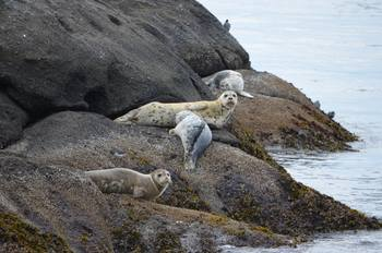 Seals resting on rocks at Smuggler's Villa Resort.
