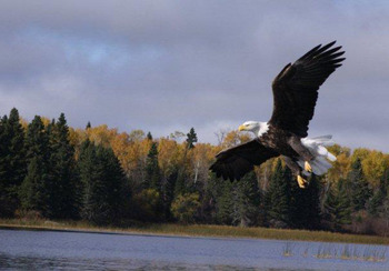 Eagles can be seen on the lake at  Angle Outpost Resort & Conference Center.