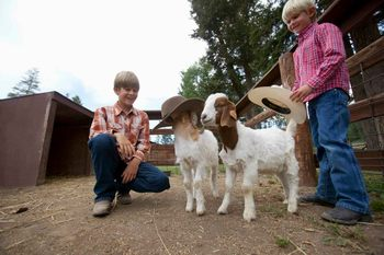 Goats at Averill's Flathead Lake Lodge.