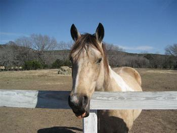 Horses near Hill Country Premier Lodging.