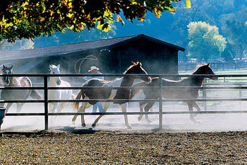 Horses at Alisal Guest Ranch and Resort.