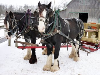 Sleigh horses at Double JJ Resort.