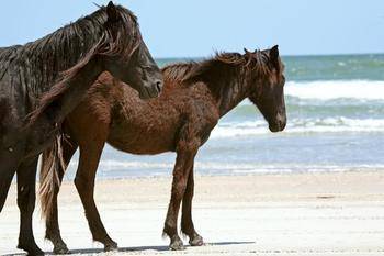 Horses on beach at Ramada Plaza.