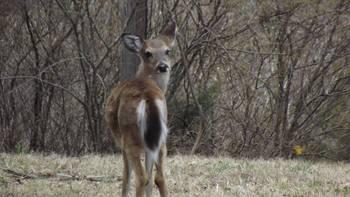 Deer at Calm Waters Resort.