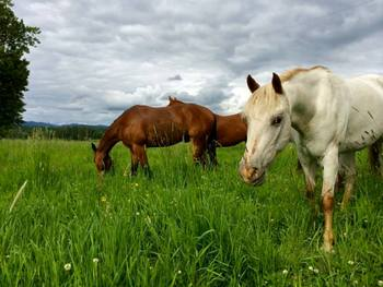 Horses at Western Pleasure Guest Ranch.