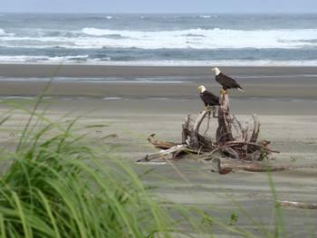 Eagles on beach at Ocean Crest Resort.