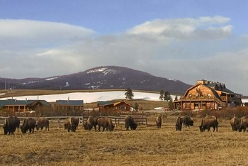 Bison grazing at Bar N Ranch.