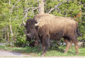 Buffalo near Shoshone Lodge & Ranch