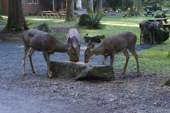 Deers at Mounthaven Resort.