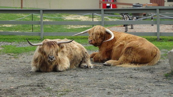 Highland cattle at Rocking Horse Ranch Resort.