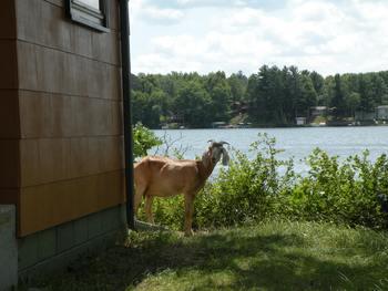 Island goat at Sams Island Cabin.